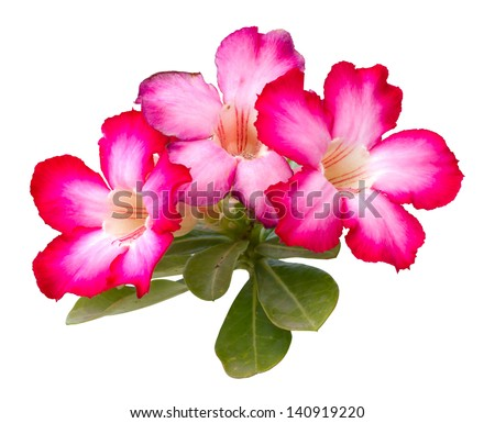 Desert rose, Impala Lily, Azalea - stock photo