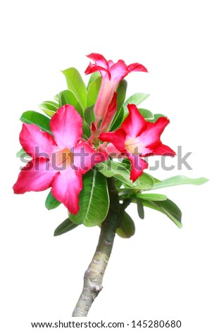 Desert Rose, Impala Lily, Mock Azalea - stock photo