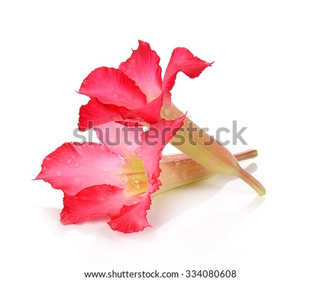 Desert Rose isolated on white background. - stock photo