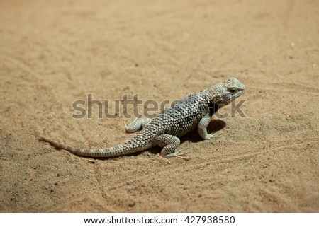 Desert spiny lizard (Sceloporus magister). Wildlife animal.