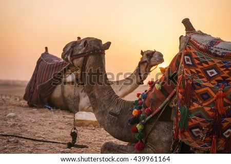Desert sunset Camels. Two camels portrait seat on the background of sunset in the distant hot desert. Desert trip - stock photo