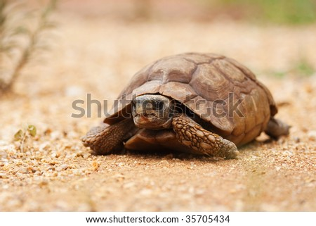 desert tortoise in the sand walking, slow-moving land-dwelling reptile with a large dome-shaped shel, Testudinidae