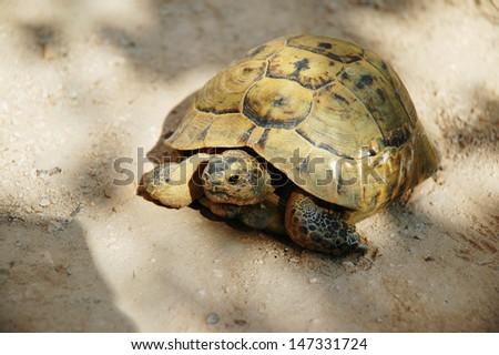 Desert tortoise, turtle - stock photo