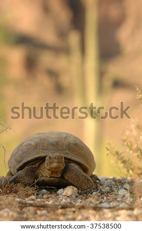 Desert Turtle Crossing path with Cactus in background - front view