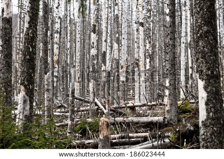 Destroyed forest, a lot of dead trees - stock photo