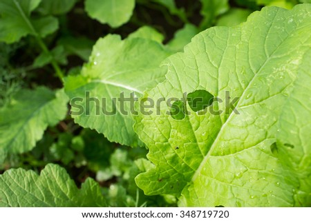 Destroying of insects and warms on vegetable leaf - stock photo