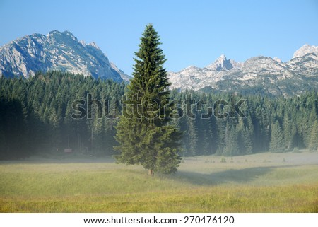detached fir tree and forest in Durmitor Park, Montenegro  - stock photo