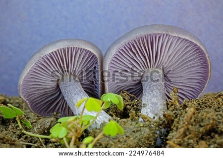 Detail close up of the gills of an Amethyst Deceiver mushroom (Laccaria amethystina) lying on leaf mould - stock photo