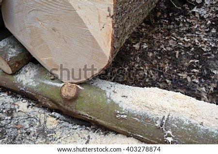 Detail cutting freshly felled tree in the forest with sawdust.