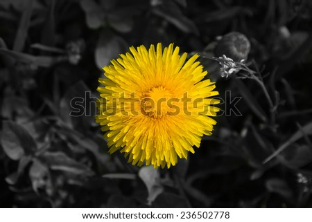Detail Dandelion yellow flower with background converted or processed in black and white  - stock photo