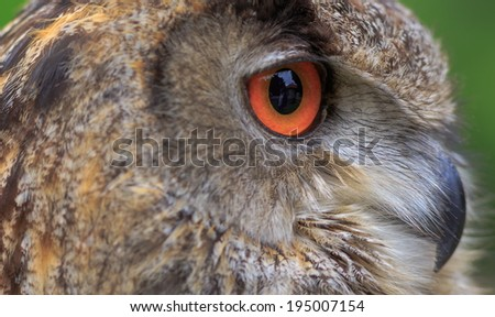 detail eye of eagle owl