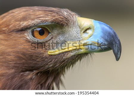 detail head very close up female golden eagle - stock photo