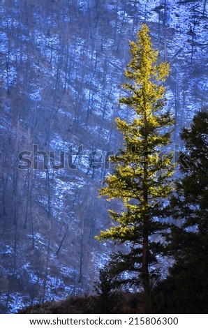Detail in forest of pine tree in sunlight and snow - stock photo