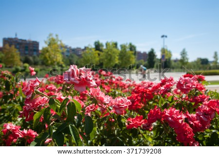 detail in red flowers and green plants in park and sport people cycling and running jogging urban at the bottom with buildings in Madrid city Spain Europe - stock photo