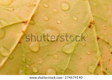 detail leaf with dew drops (shallow DOF). - stock photo
