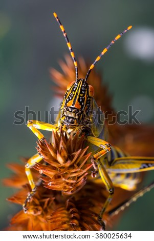detail macro view of a grasshopper head on, on a brown grass stem against a green foliage background - stock photo