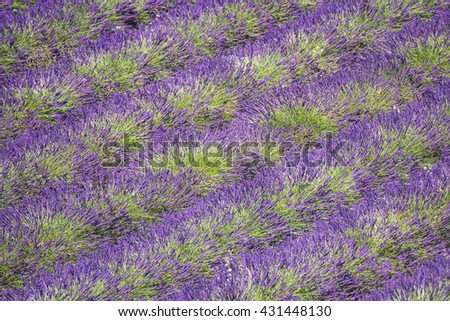 Detail of a beautiful lavender filed in Provence, France  - stock photo