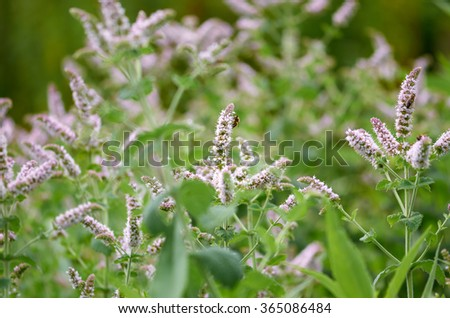 Detail of a big flowering mint plant with green foliage and bees gathering pollen and nectar.