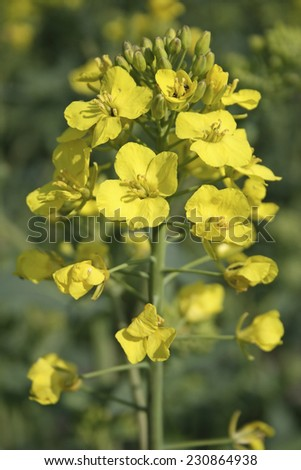 Detail of a canola blossom. Rapeseed field. Canola in springtime.  - stock photo
