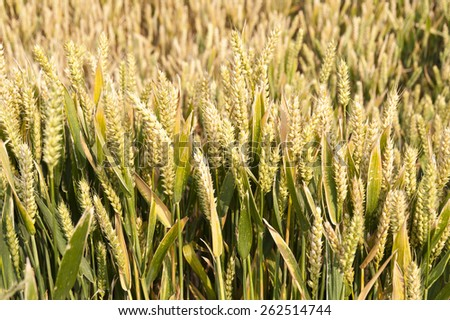 Detail of a Cornfield - stock photo