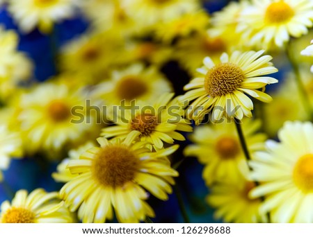 Detail of a flowering arnica plant. - stock photo