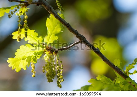 Detail of a flowering oak in spring, close up - stock photo