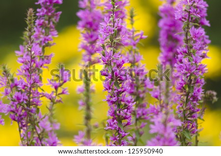 Detail of a flowering purple loosestrife plant at a pond. - stock photo