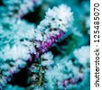 Detail of a frozen flowering heather plant. - stock photo