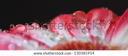 detail of a gerbera daisy with many dew drops - stock photo