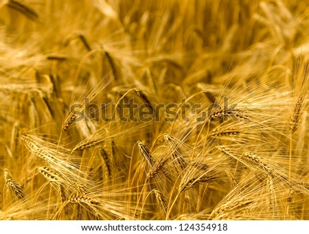 Detail of a golden flowering field. - stock photo