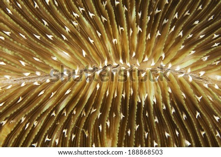 Detail of a mushroom coral (Fungia sp.) growing on a coral reef