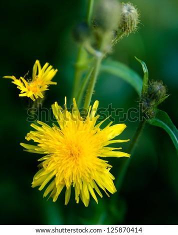 Detail of a naturally growing yellow hawk-weed flower. - stock photo