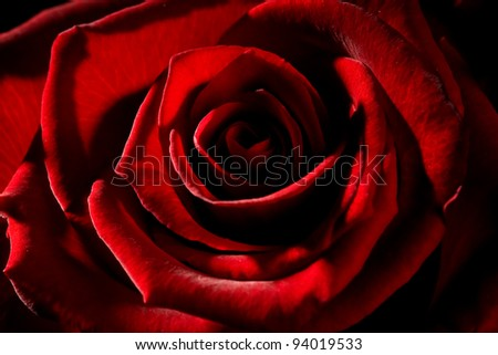 detail of a red rose with strong contrast - stock photo