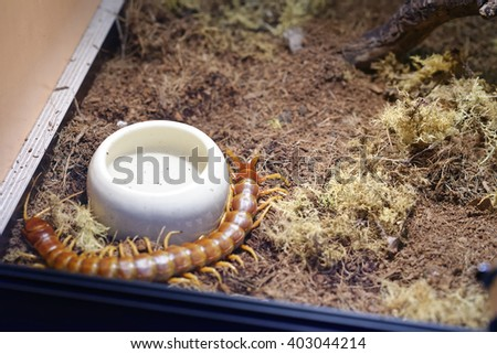 detail of a scolopendra gigantea in a museum - stock photo
