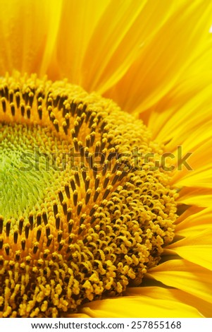 Detail of a sunflower - stock photo
