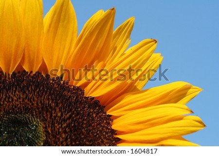 Detail of a sunflower before a blue sky