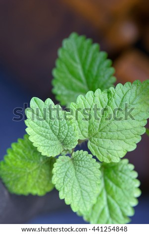 Detail of a thriving lemon balm plant.