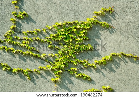 Detail of a vine plant creeping up a wall. - stock photo