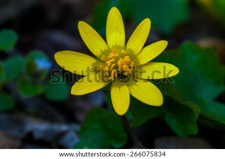 Detail of a yellow flower with a small insect harvesting pollen in a forest - stock photo