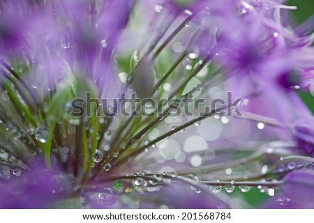 Detail of Allium Flower - stock photo