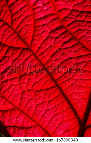 Detail of an Autumnal leaf in backlight