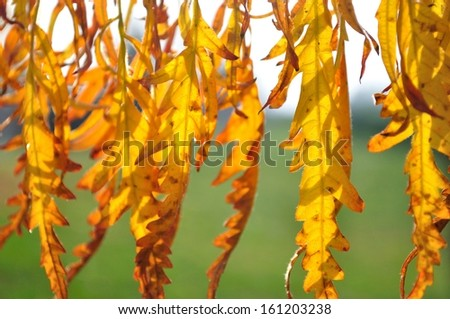 Detail of backlit yellow autumn leaves on a sunny day