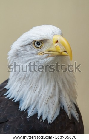 Detail of bald eagle's head