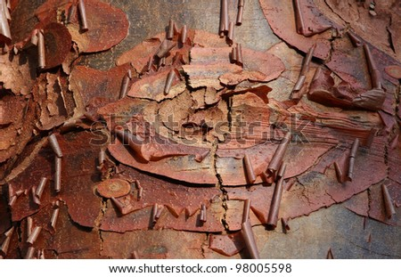 Detail of bark of a paperbark maple tree (Acer griseum). - stock photo
