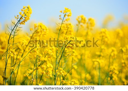Detail of beautiful canola flowers