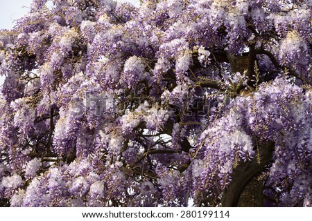 detail of beautiful flowers of wisteria creating a springtime texture, shot in mediterranean village, Lerici, Italy - stock photo
