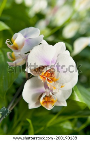 Detail of beautiful white orchid plant - stock photo