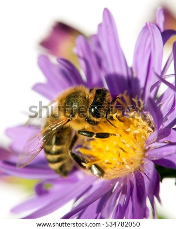 detail of bee or honeybee in Latin Apis Mellifera, european or western honey bee sitting on the violet flower isolated on white background, golden honeybee on flower