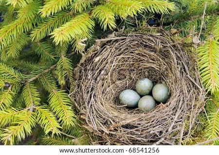 Detail of blackbird eggs in nest - stock photo