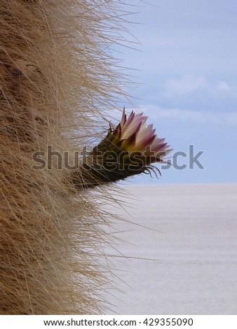 detail of blooming cactus at salar de uyuni in bolivia - stock photo
